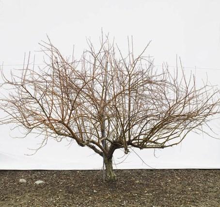 barren apple tree